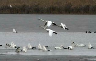 flock of tundra swans