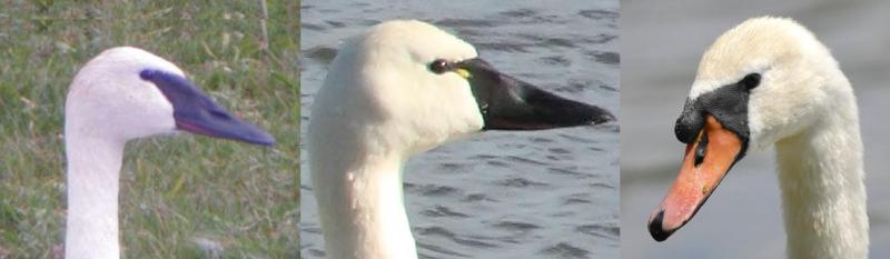 bill of swans