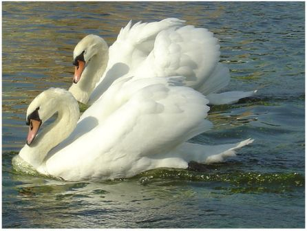 Mute Swan Couple