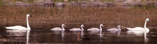 Trumpeter Swan Family Swimming