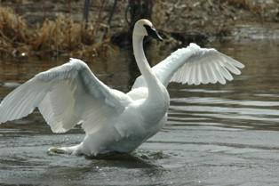swan wingspan