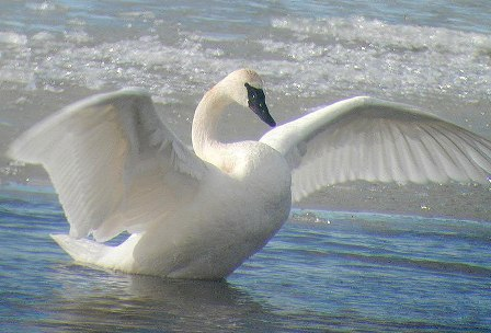 Majestic Trumpeter Swan