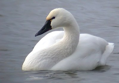 Tundra swan swimming