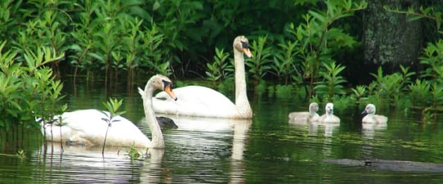 Family of Mute Swans