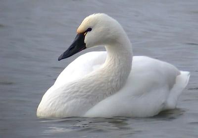 Tundra swan swimming