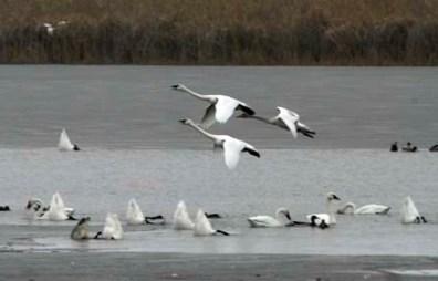 Flock of Tundra Swans