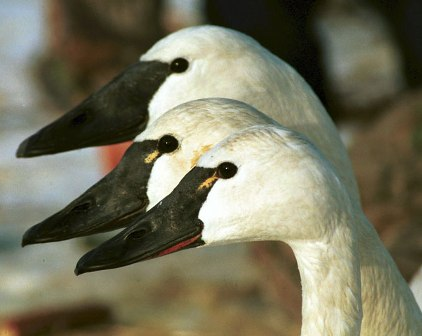 Trumpeter with Tundra Swans
