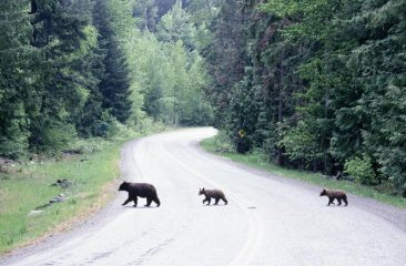 Bear family crossing road
